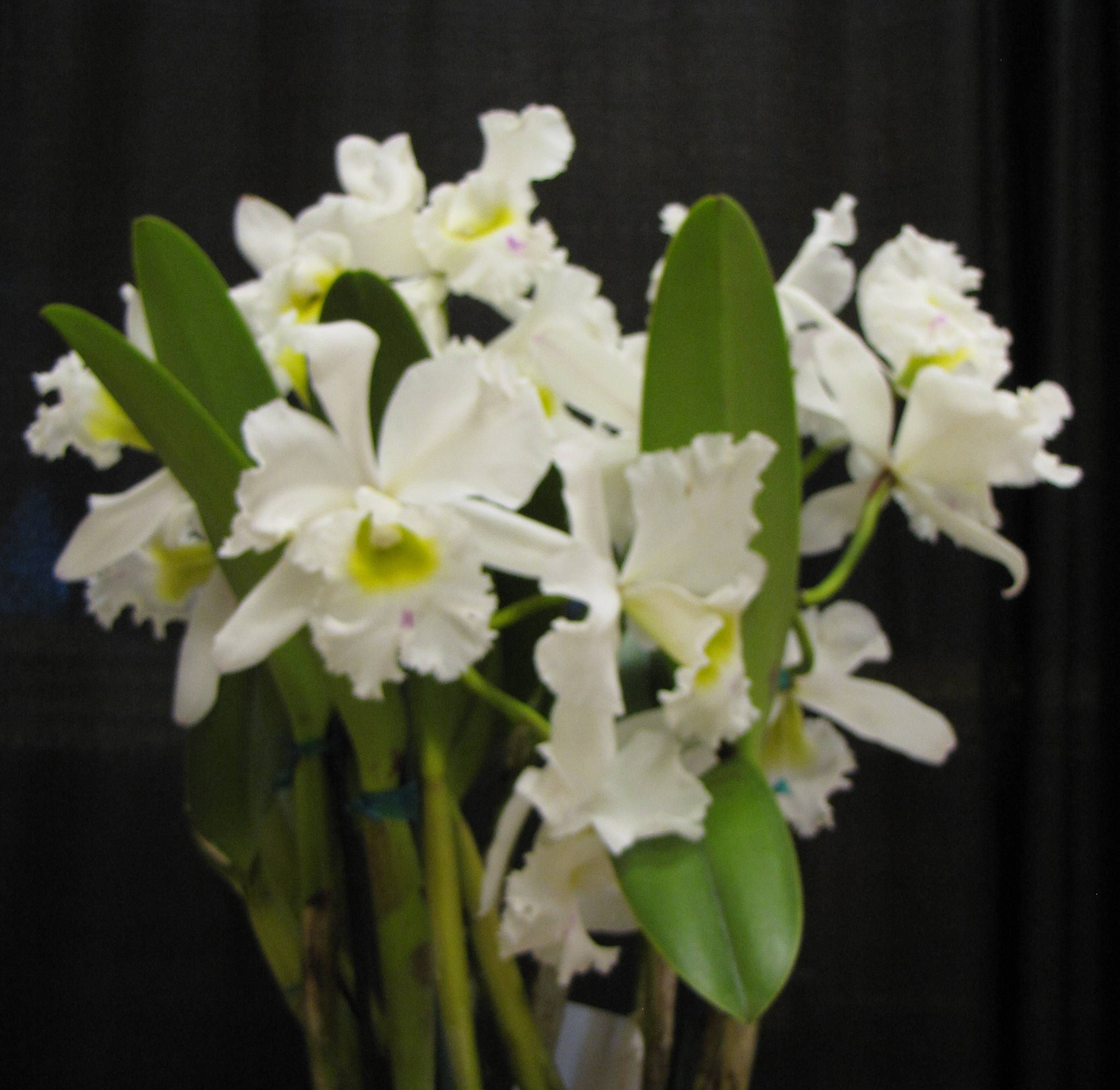 Image result for victoriaorchidsociety berangere