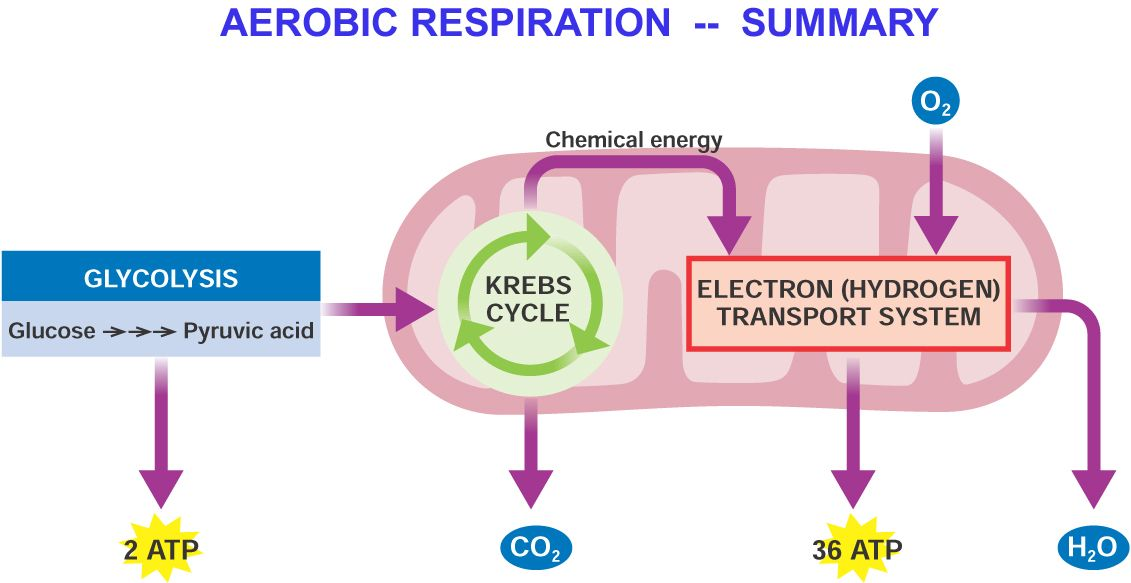 1000 images about cellular respiration on pinterest pathways  : aerobic respiration diagram - findchart.co