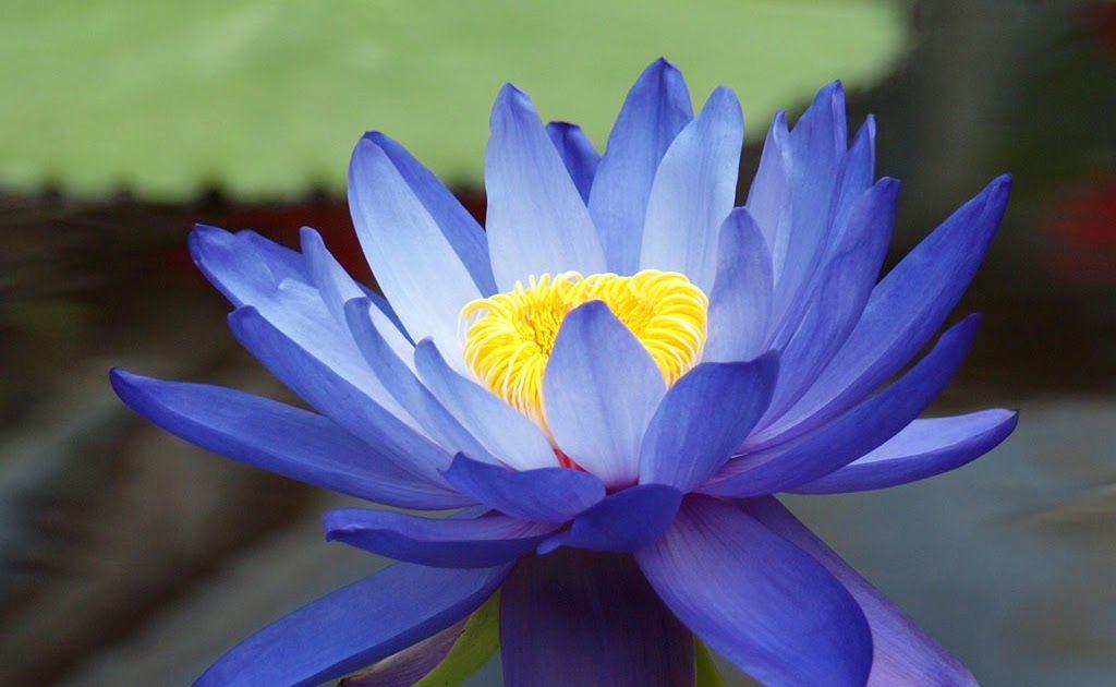 Paling Hits 30 Gambar Bunga Teratai Warna Ungu Meli Blog Bunga Lotus Download Jual Benih Biji Bunga Teratai Ungu Kota Ban Bunga Teratai Gambar Bunga Bunga