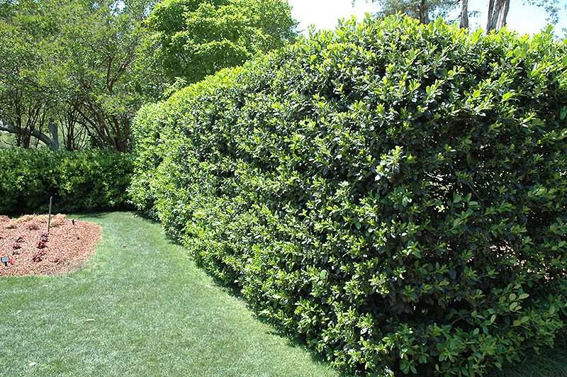 Fast growing shrubs fast growing shrubs fast growing for Fast growing fence covering plants