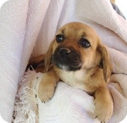 Peagle Beagle Pekingese Mix Info Temperament Puppies Pictures