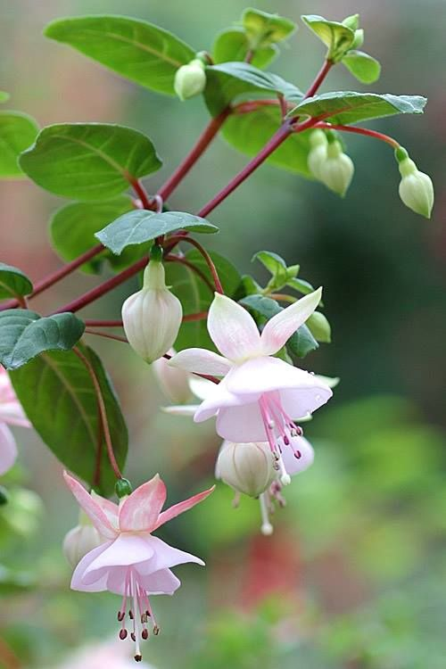 Fuchsia Apple Blossom I Like The Name Of This Flower Besides Forget Me Not Beautiful Flowers Fuchsia Flowers Flower Seeds