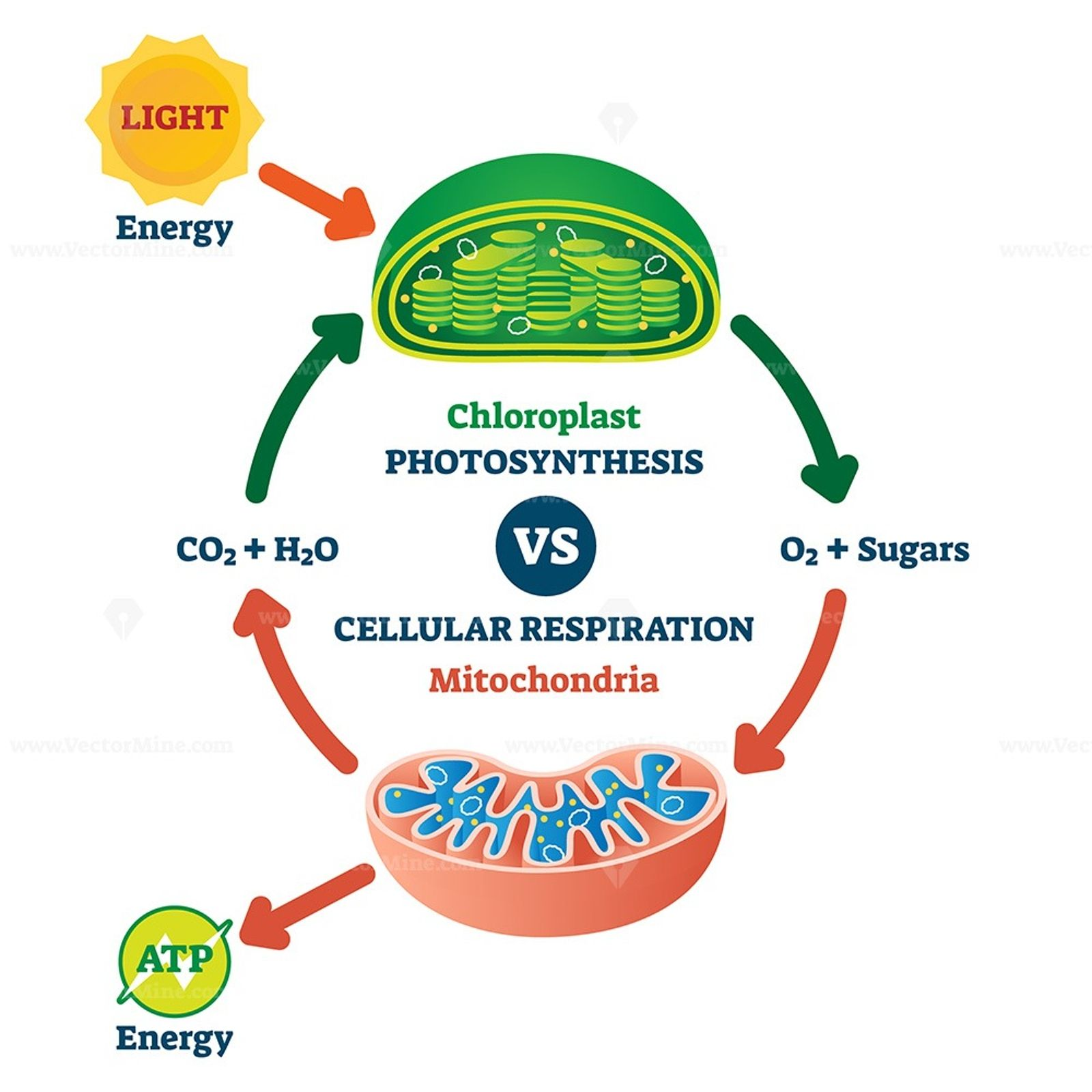 Chloroplast vs mitochondria process educational scheme