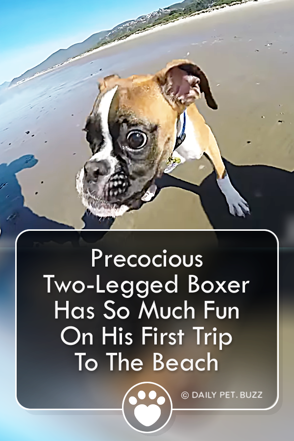 They Took This Two Legged Boxer To His First Beach Trip What He Does There This Is In 2020 Animal Rescue Stories Rescue Dogs Animal Rescue