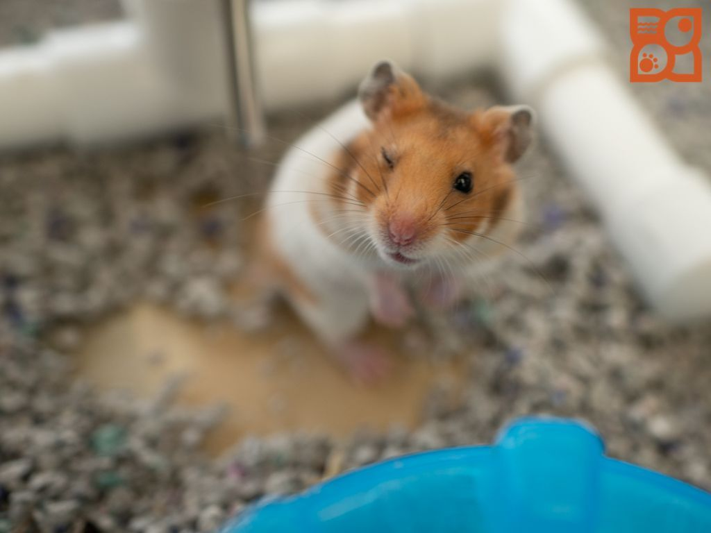 Puppies For Sale In 2020 Hamster Life Petland Puppies Hamster