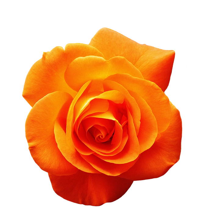 Free Image On Pixabay Rose Orange Blossom Bloom Flower Rose Images Flower Art Beautiful Flowers Images