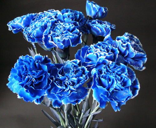 Carnation Blue Carnations Carnation Flower Pretty Flowers