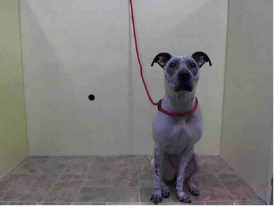 SAFE --- Manhattan Center    MANGANESE - A0997204    FEMALE, WHITE / BLACK, DALMATIAN MIX, 2 yrs  STRAY - STRAY WAIT, NO HOLD  Reason STRAY   Intake condition NONE Intake Date 04/19/2014, From NY 10473, DueOut Date 04/22/2014,  https://www.facebook.com/Urgentdeathrowdogs/photos_stream