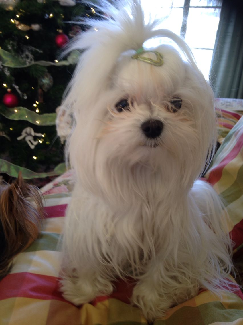 My Sophie Grace Maltese puppy, Teacup puppies maltese