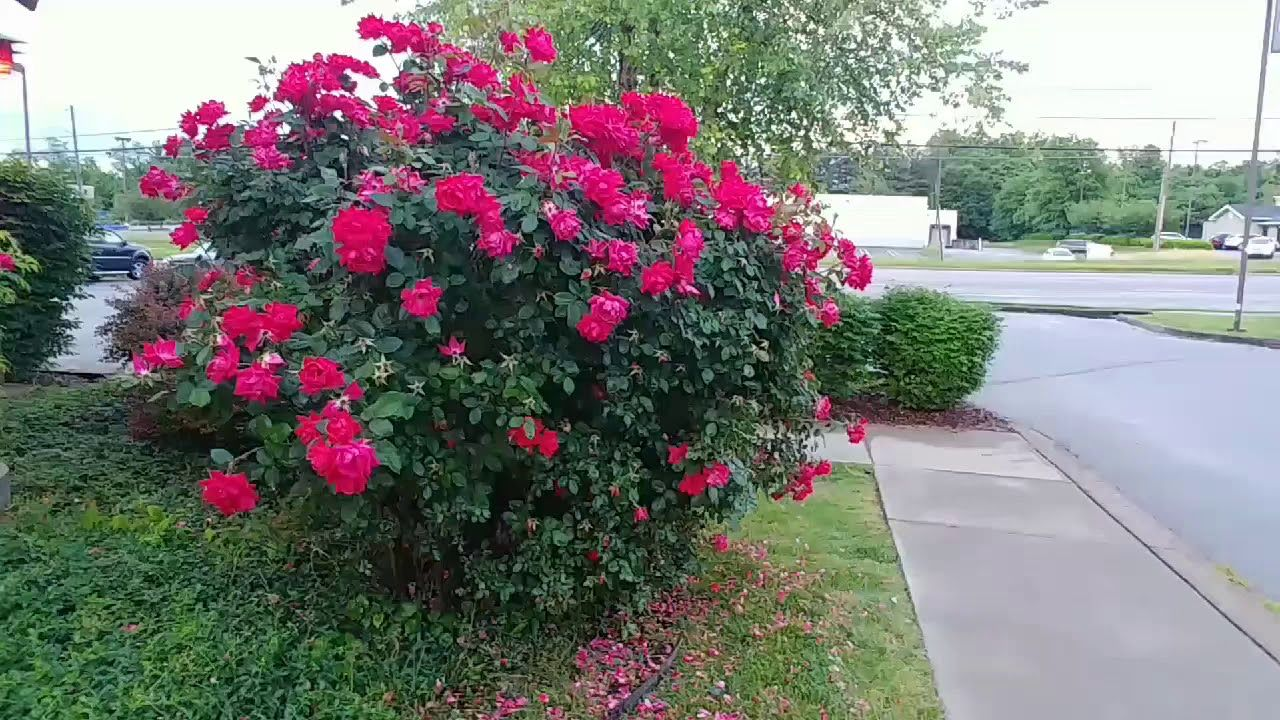 Knock Out Rose Bush Video Information Youtube Trees To Plant Rose Bush Rose
