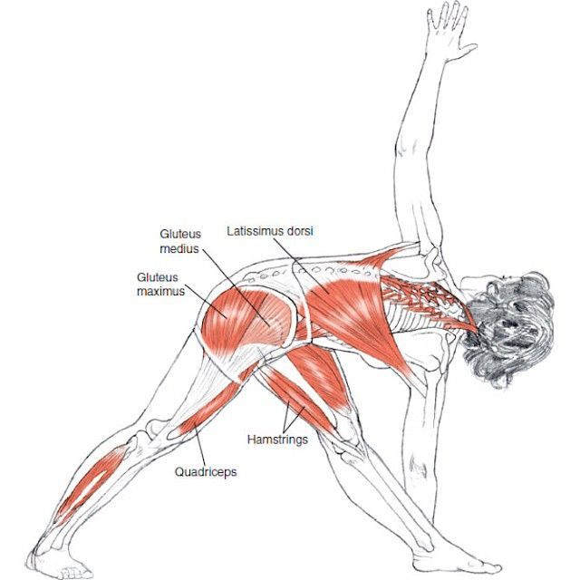 Trikonasana Anatomy Muscles On The Red Area Are Latissimus Dorsi