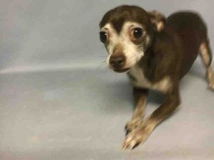 Body A1100665 Poor Dog Chihuahua Save Animals