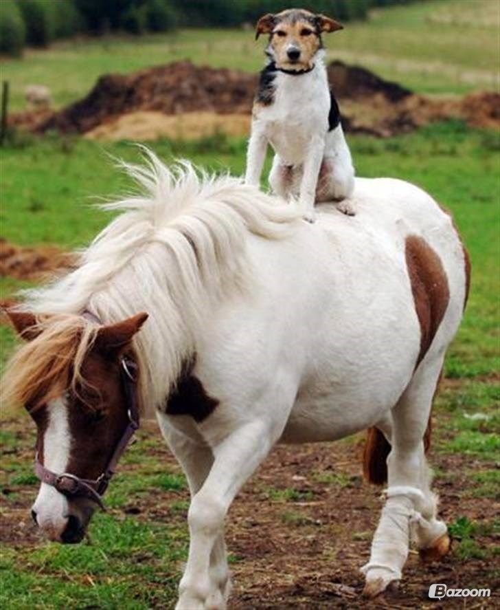"Freddie the Jack Russell leaps on the back of his neighbor's Shetland pony Daisy for a trot around the paddock in Flaxley, Gloucestershire, England. Owner Patricia Swinley said the dog was a ""natural"" jockey whose equestrian skills have blossomed. Freddie, who has been nicknamed the Flaxley Flier, is often to be seen riding round the 25-acre farm and Daisy, who stands at just 37 inches tall provides the perfect taxi, for her pal"