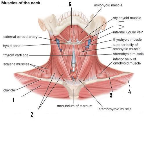 Neck Muscles Front Other Fun Stuff Pinterest Muscles