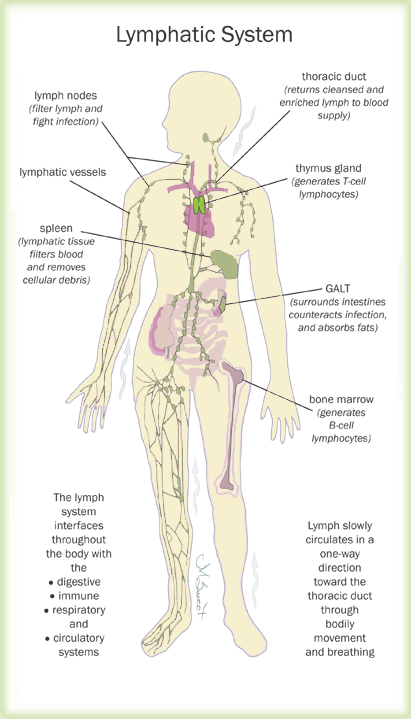 Diagram Of Lymph Entire Body Wiring Circuit