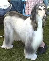 Afghan Hound In The Gorgeous Domino Color Afghan Hound Hound