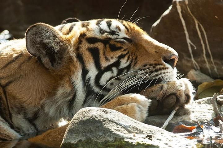 Flojera felina... #Tigres