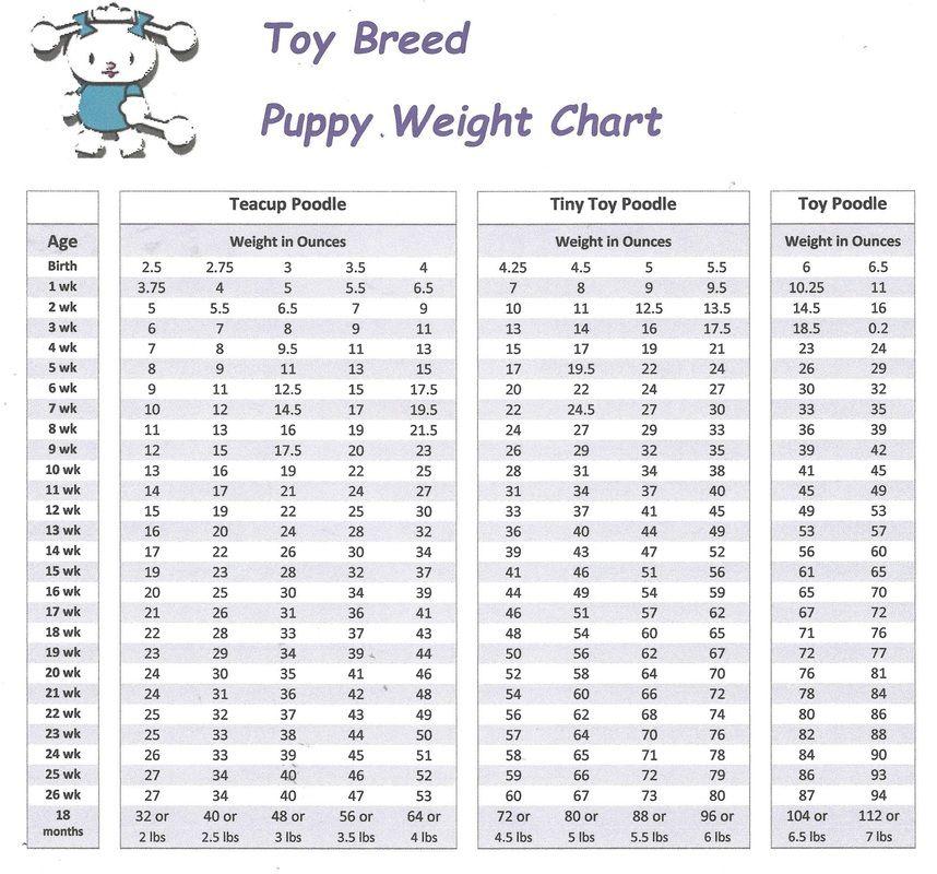 Poodles Sizes Tea Cup Poodle Toy Poodle