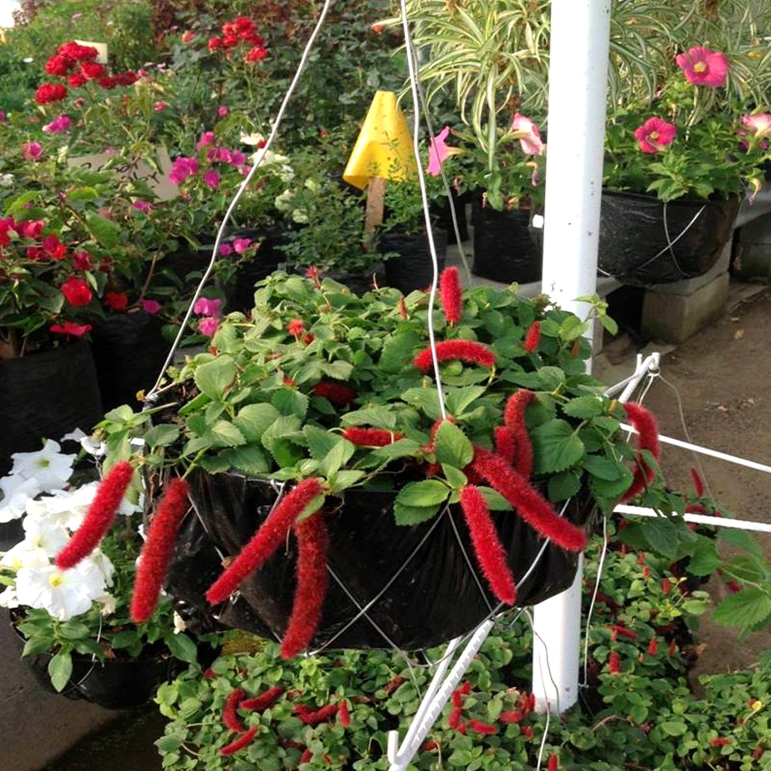 Conocida como gusanitos la acalifa es una planta colgante for Plantas colgantes exterior