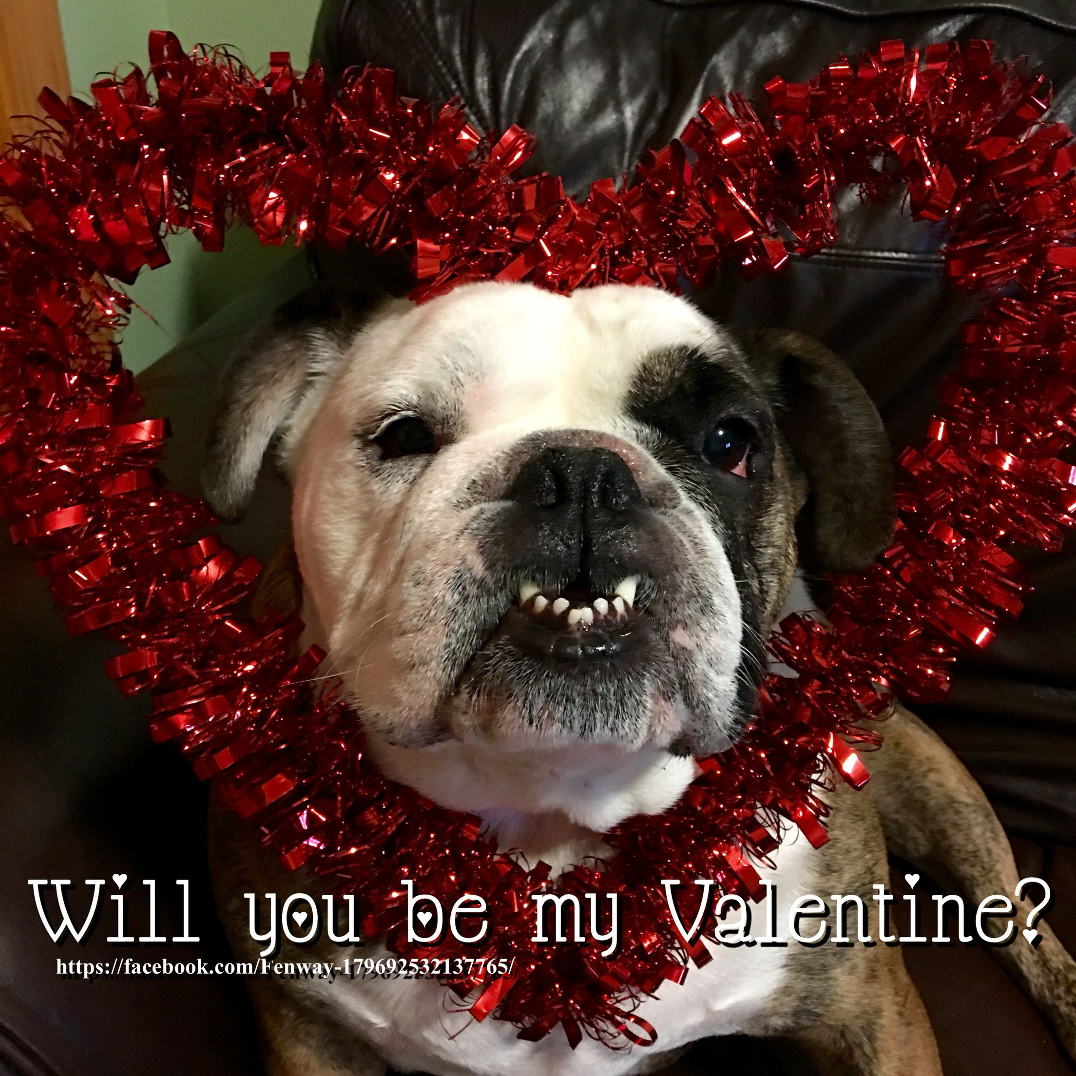 01feb16 Fenway Bulldogs Valentine Valentine S Day English Bulldog Cute Bulldogs Funny Animal Memes