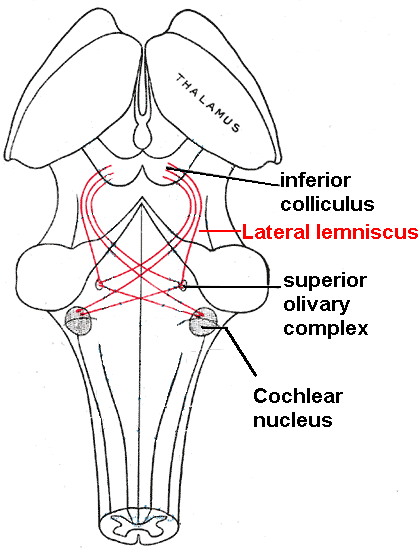 The Lateral Lemnisci Red Connects Lower Brainstem Auditory Nuclei