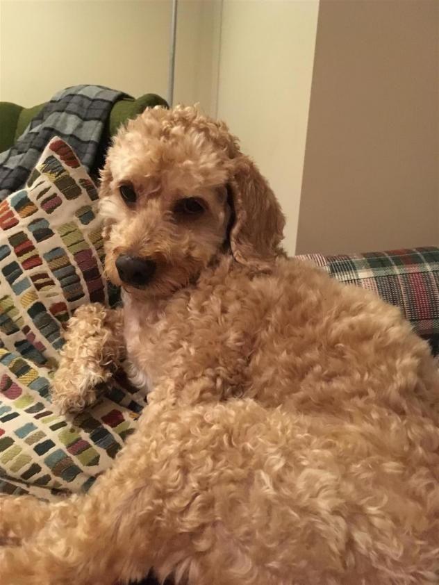 Adopt Roxy on Small dog rescue, Cockapoo dog, Adoption
