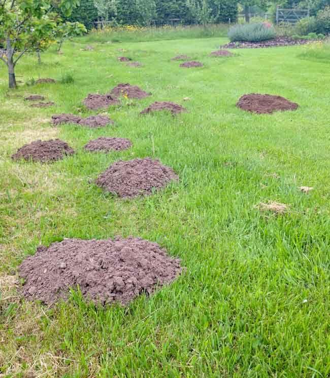 Moles In Vegetable Garden