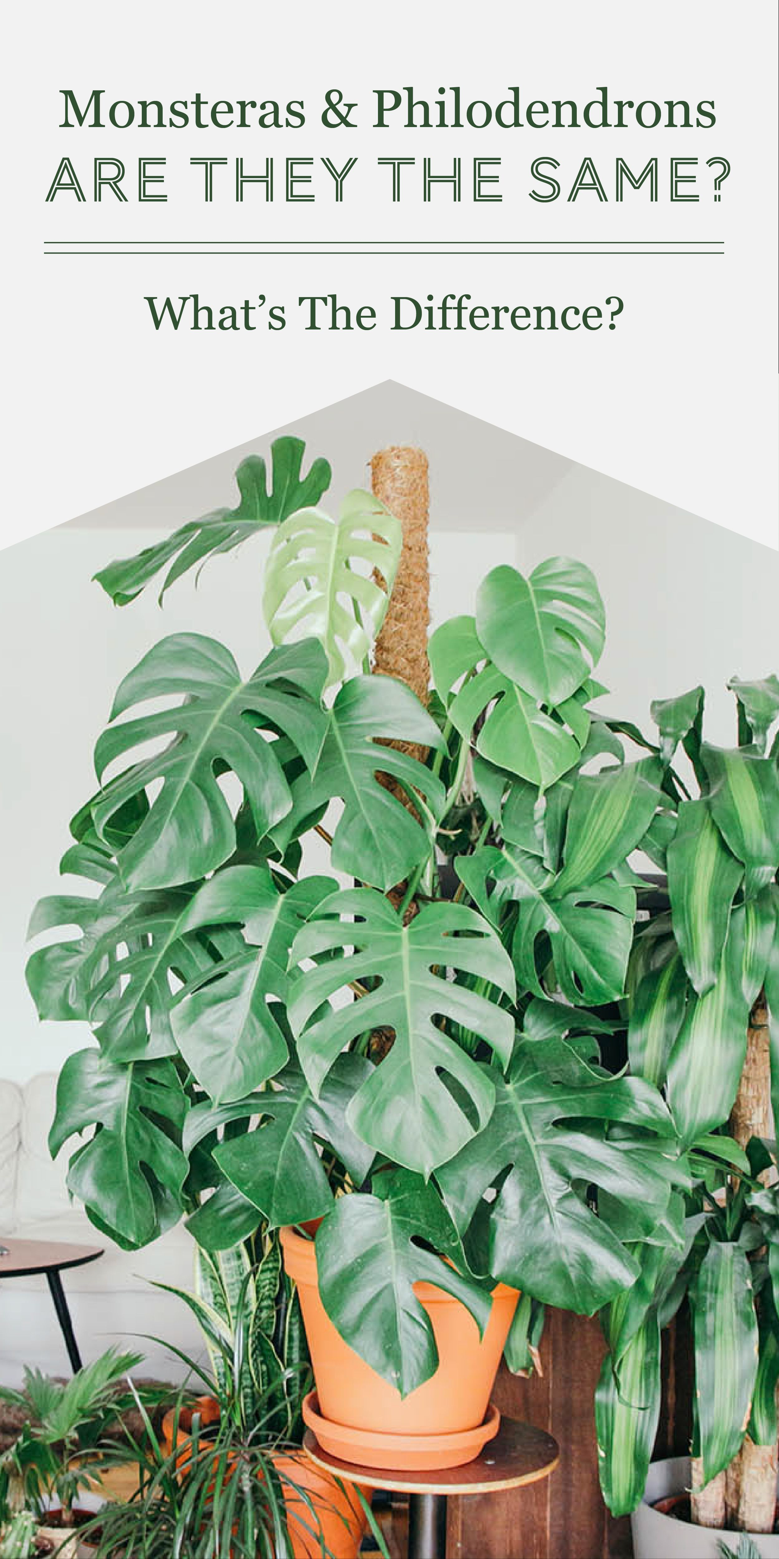 Monsteras Vs Philodendrons What S The Difference The Healthy Houseplant Philodendron Plant Philodendron Plants