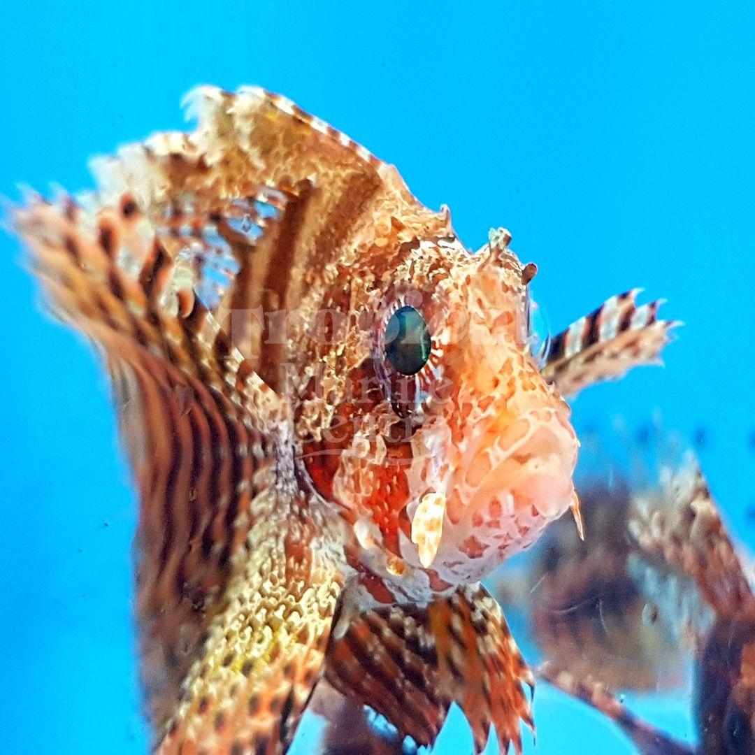 Fuzzy Dwarf Lionfish Dendrochirus Brachypterus Tmc Tropicalmarinecentre Tmclookforthelabel Eatsleepree Lion Fish Fish Salt Water Fish