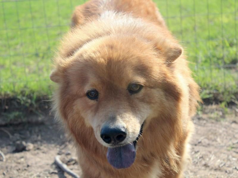 Adopt Chacito On Pets Adoption Chow Chow