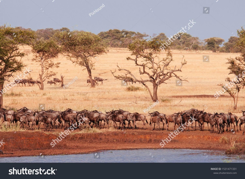 Herd of African wildebeest in golden grass meadow near river of Serengeti Grumeti reserve Savanna forest in evening - African Tanzania Safari wildlife trip during great migration #Ad , #AD, #river#meadow#Grumeti#Serengeti