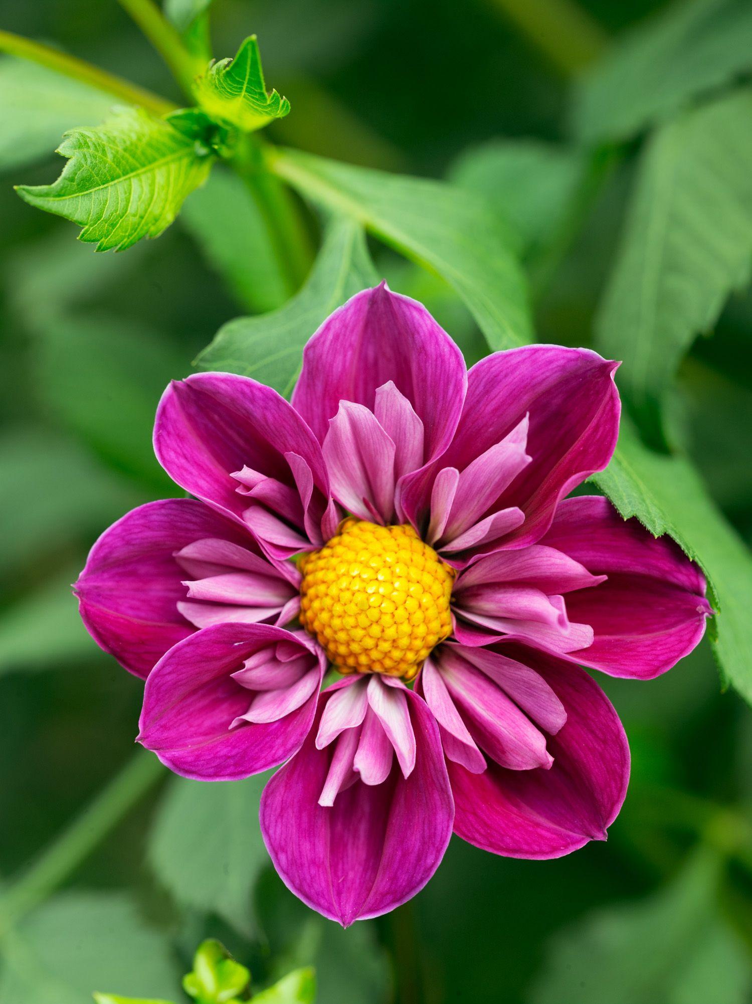 dahlias to drool over fleurs pinterest dahlia flower and