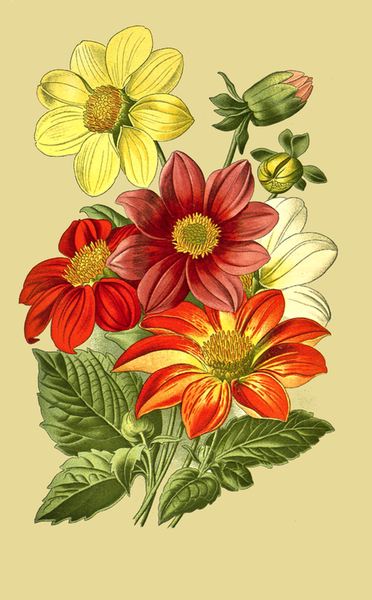This Beautiful Book Plate Included A Dahlia Flowers