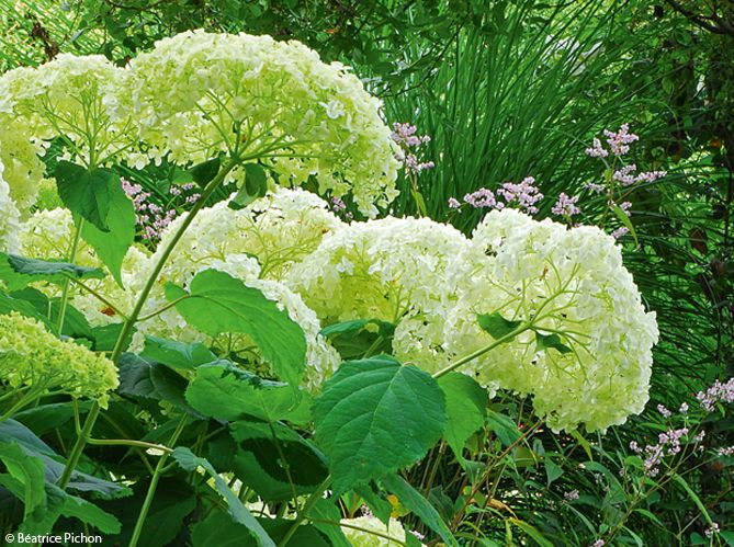 Entretenir son hortensia - Mon Jardin & ma maison