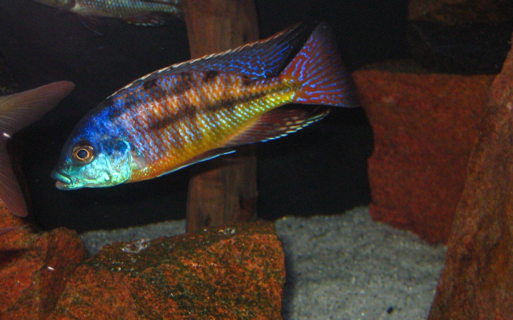 Red Empress Cichlids African Cichlids Home Aquarium