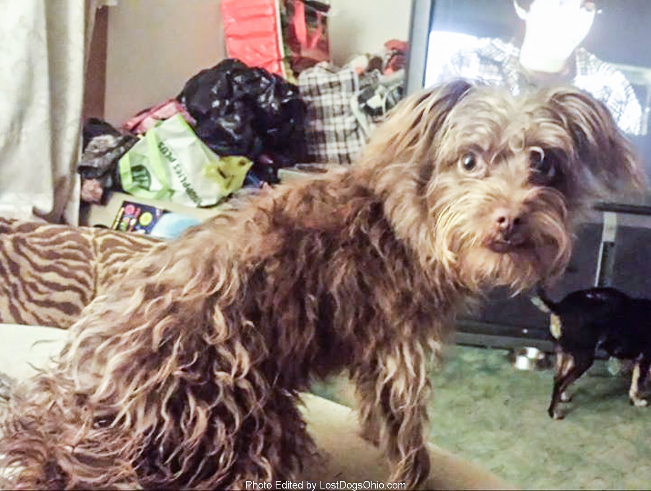Back Home Dog Chihuahua Long Haired Sebring Oh Usa 44672 Losing A Dog Dogs Pet Home