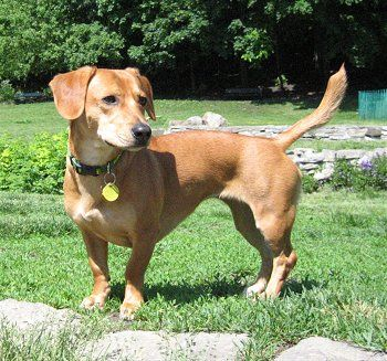 Doxle Doxles Beagle Dachshund Hybrid Dogs Beagle Mix Puppies