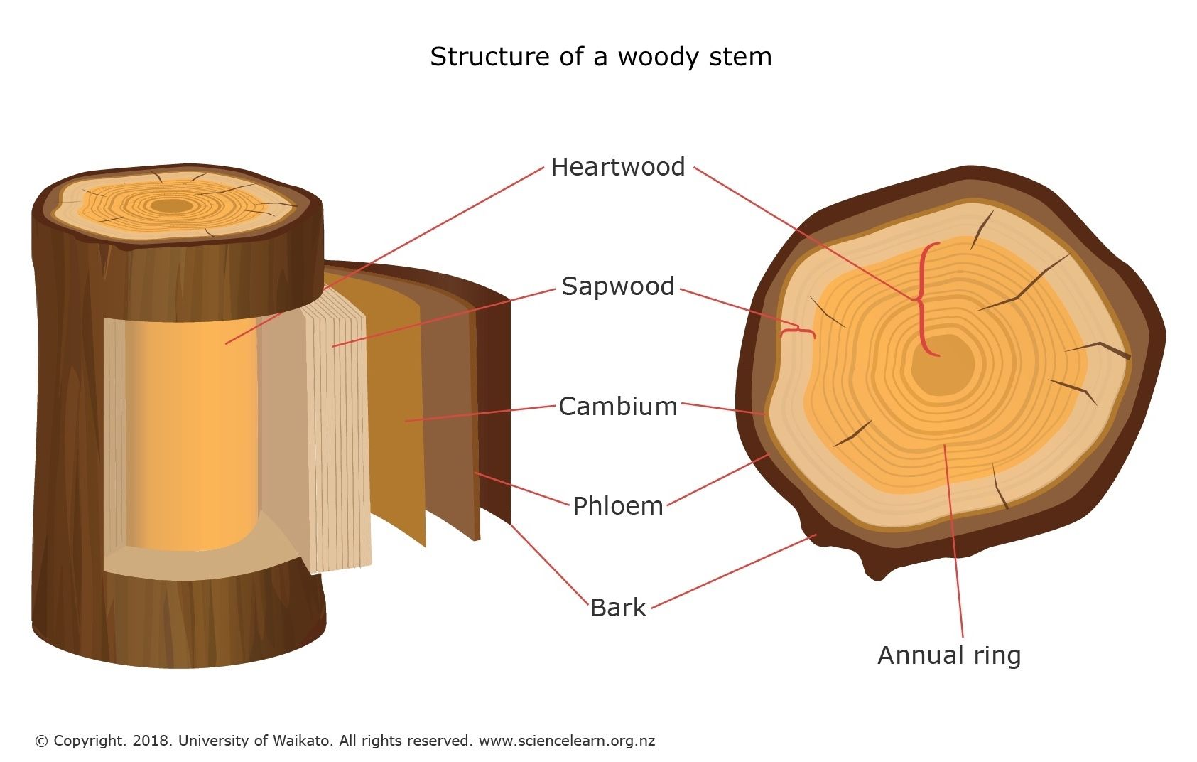 tree trunk stem diagram bookmark about wiring diagram Tree Stem Diagram