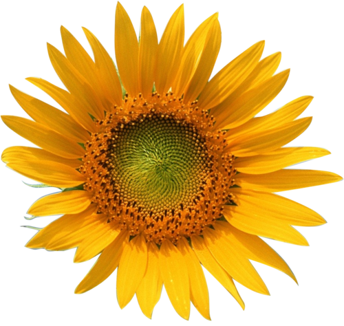 Transparent Flowers Transparent Sunflower X Transparent Flowers Flowers Button Flowers