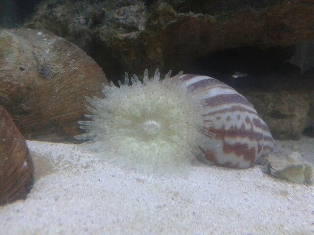 Sand anenome in our nano