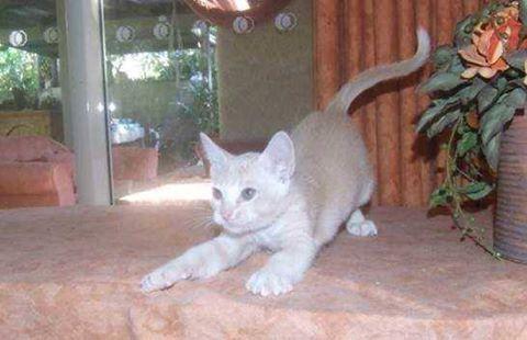 Beautiful Burmese Kittens For Sale 1 Red Boy 2 X Cream Boys 1