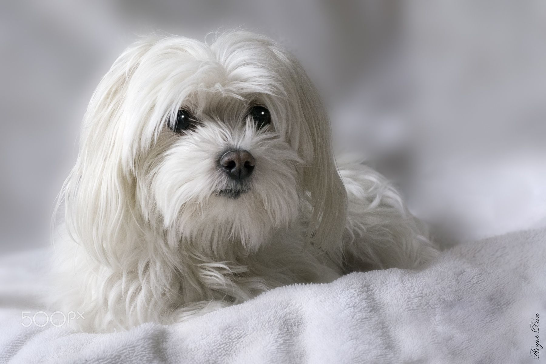 Catou The Maltese Maltese Dogs Beloved Companions To Princes And