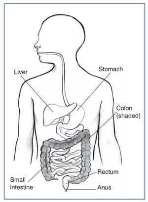 Drawing showing the digestive system with the liver