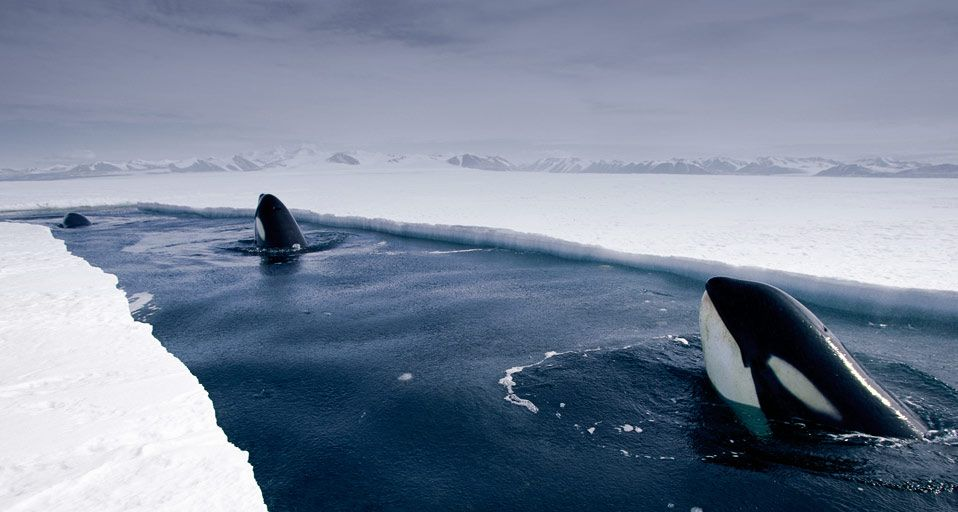 Orca whale wallpaper bing images orca whales orca whales spy orca whale wallpaper bing images orca whales orca whales spy hopping near antarctica altavistaventures Gallery