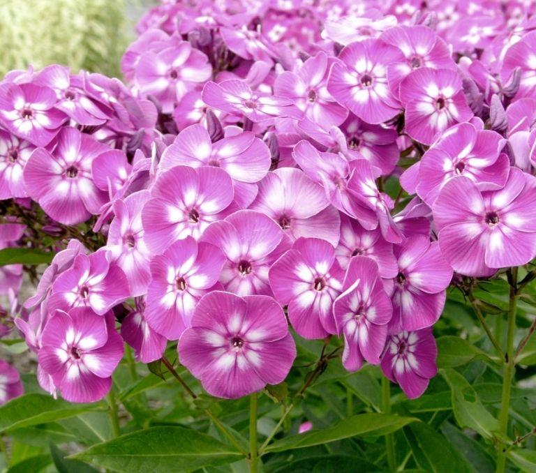 Каталог многолетних цветов для дачи: фото с названиями и ...