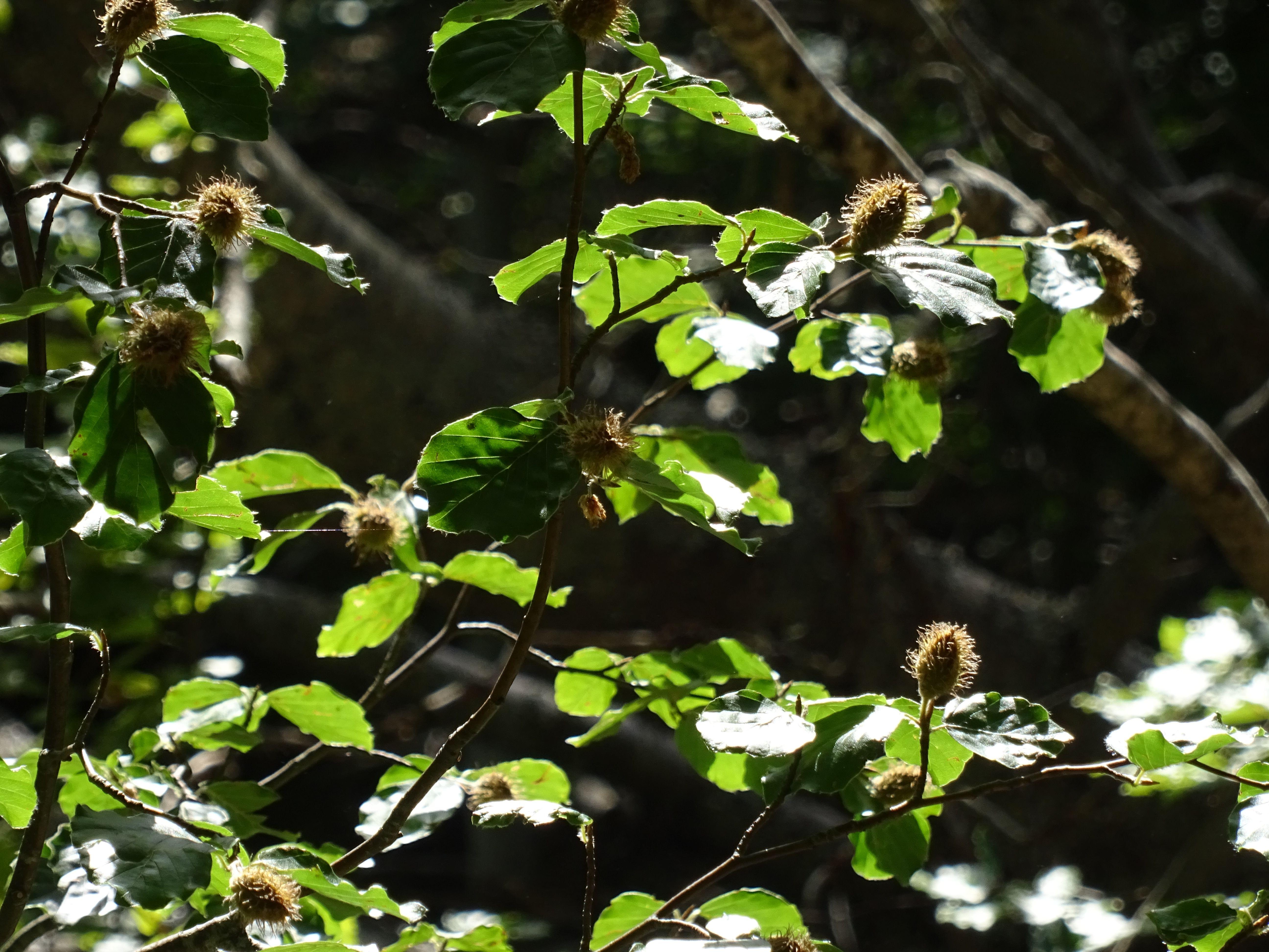 Vemos las ramas de un haya con sus hayucos, son semillas redondas con una cubierta de pinchos que las protege