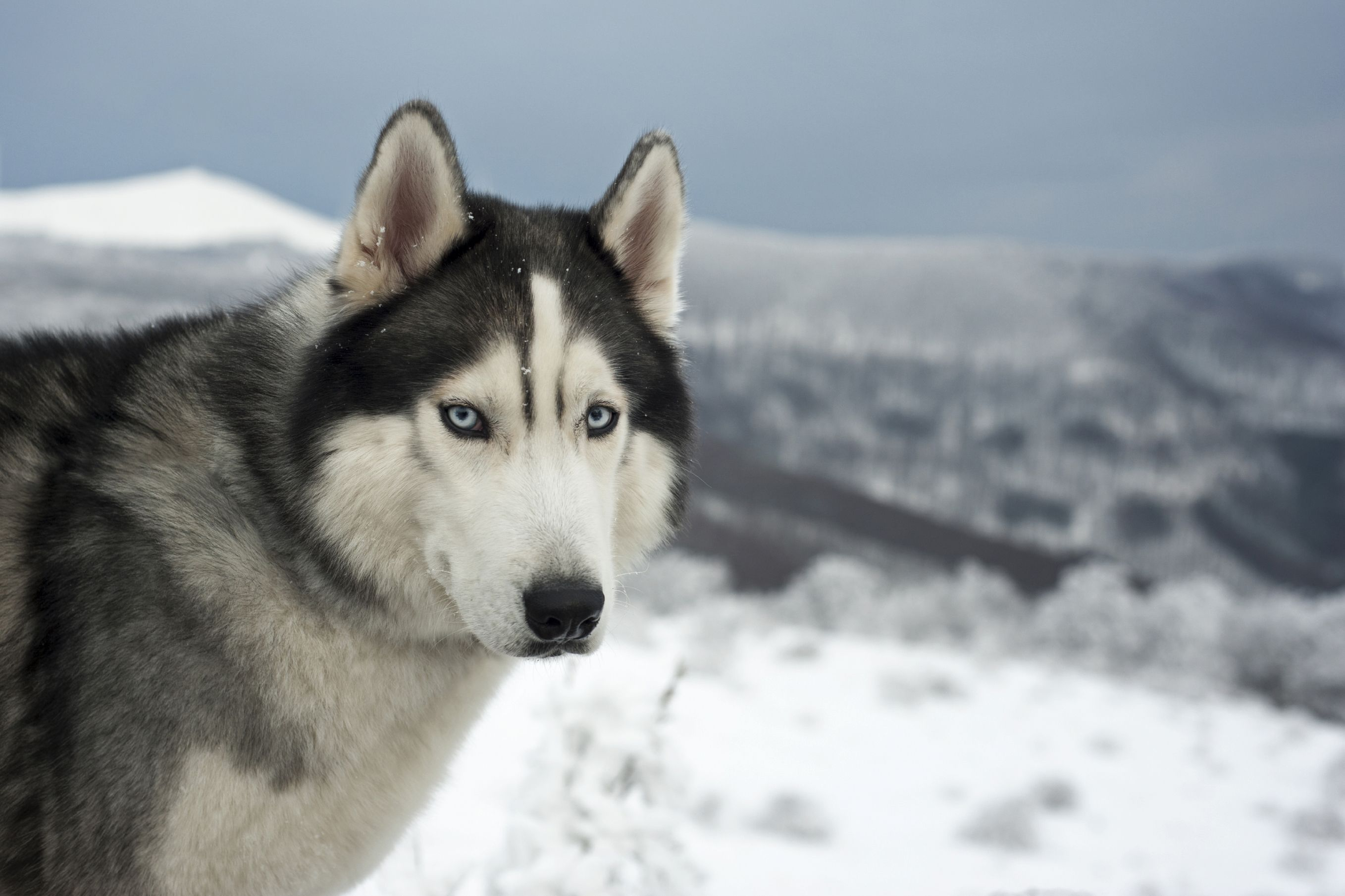 Sled Dogs In An Age Of Climate Change Animal Pillows Husky With