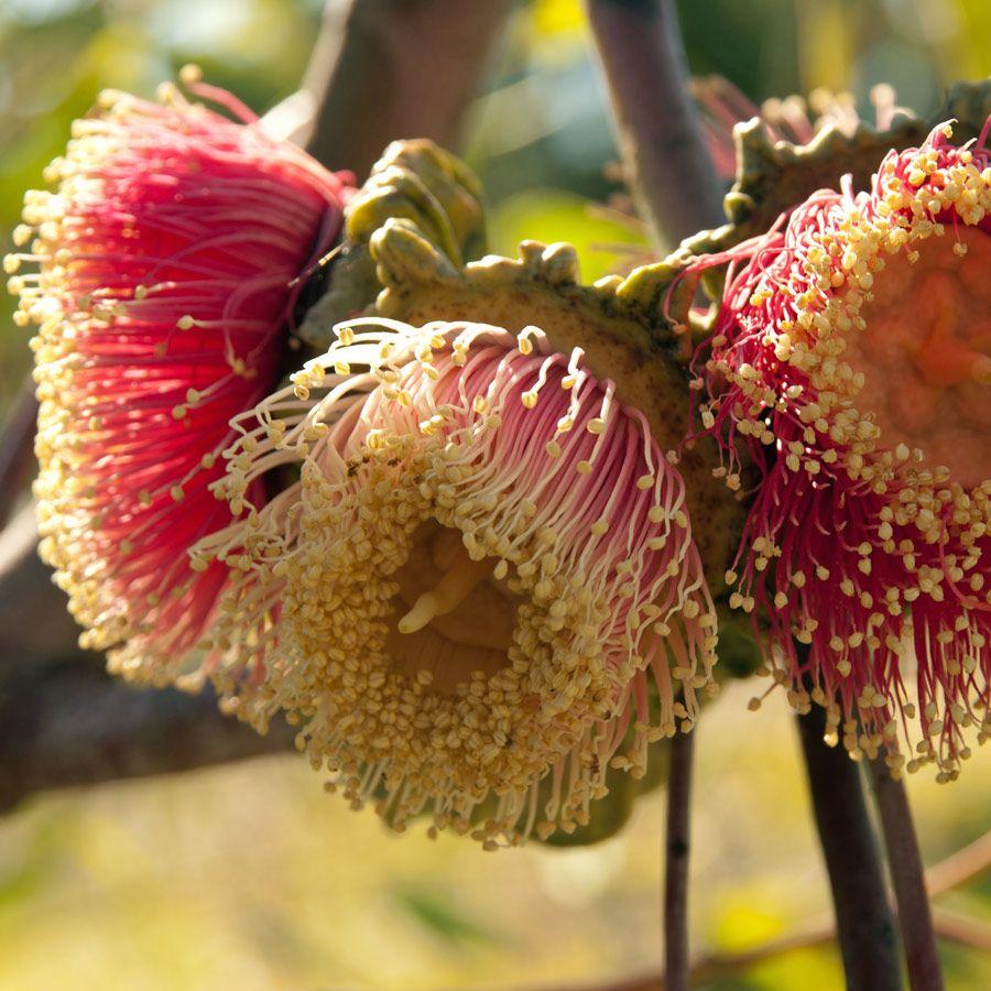 EUCALYPTUS youngiana Ooldea Mallee Flowers australia