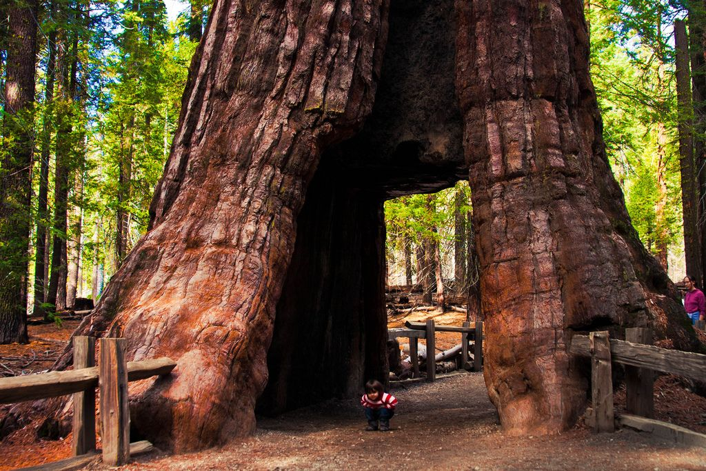 Tunnel Tree, Mariposa Grove @ Yosemite National Park,California