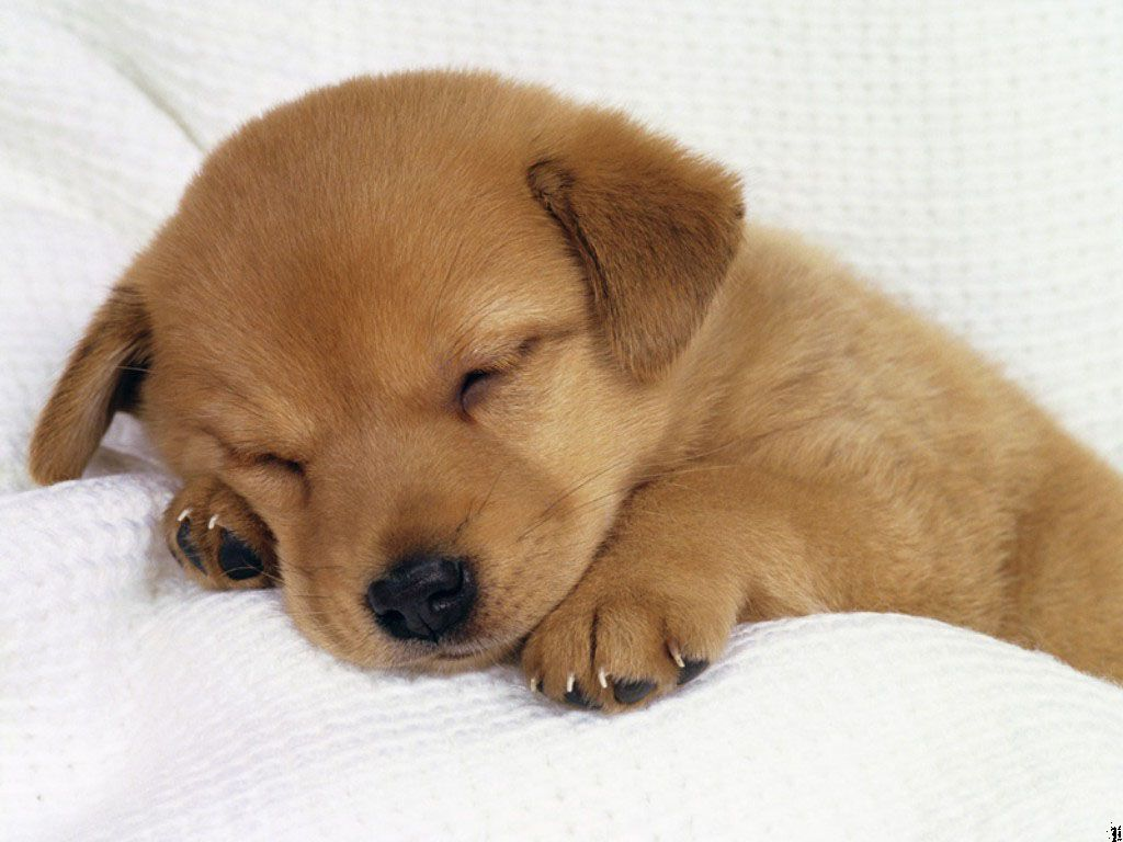 cute brown puppy is sleeping on a Sofa